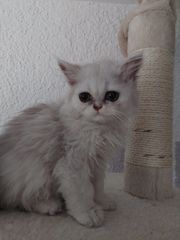 Persa-Sibirische-Wald-Katze