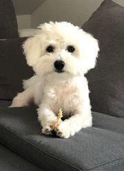 Hundebetreuung für süßen Malteser
