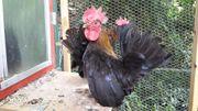 Serama das kleinste Huhn der