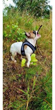 Auszugsbereit Französische Bulldoggen Welpen