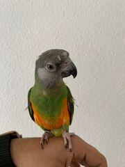 handaufzucht Mohrenkopfpapagei zahm Papagei