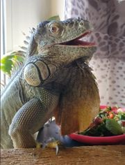 Sam Grüner Leguan iguana iguana