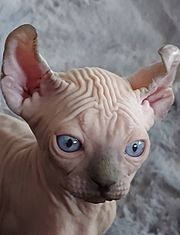 Canadian Sphynx Elf Kitten