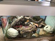 Terrarium mit 3 Leopardgecko Weibchen