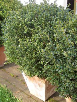 Grosse Buchsbaumkugel n in Terracotta-Topf: Kleinanzeigen aus Münster Centrum - Rubrik Pflanzen