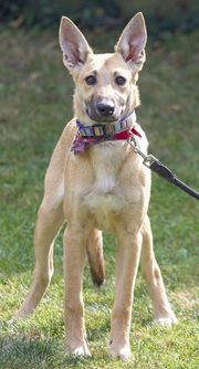 Junge Schäferhund-Mischlinge April geboren Hündin