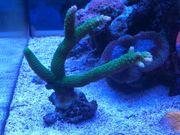 Acropora Enzmann grün XXL ca