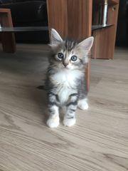 Norwegische Waldkatzen Kitten mit Papieren