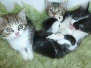 Katzenbaby Perser Mix Babykatze Katzenkitten