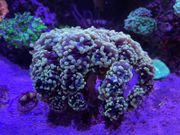 Meerwasser Koralle Euphyllia paraancora Golden