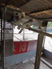 usbekische tauben zum verkaufen