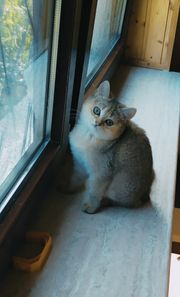 Typvolle und verschmuste BKH-Kätzchen in
