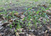 Kernechter roter Weinbergpfirsich einjährige Pflanzen