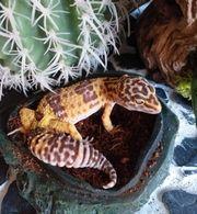 Terrarium und leopardgecko