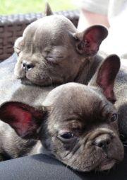 Wunderschöne Französische Bulldoggen Welpen mit