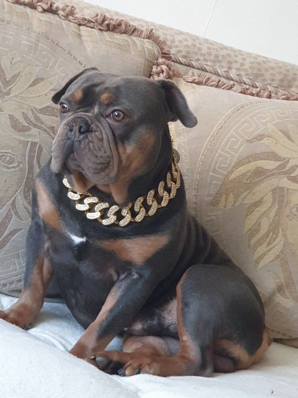 deckrüde french bulldog