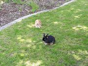 2 Zwerg Kaninchen zu verschenken