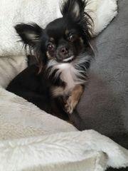 Chihuahua Hündin 2 Jahre mit