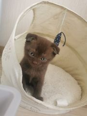BKH Skotisch Fold Kitten mix