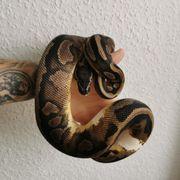 verschiedene Königspython Python Regius