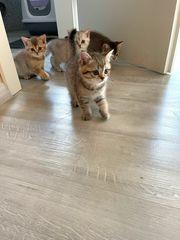 BKH Kitten Britisch Kurzhaar Katzenbabys