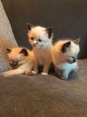 bezaubernde Ragdoll-Kitten suchen liebevolles Betreuungspersonal