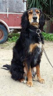 Dobby Milo traumhafter Settermischling-Familienhund ca