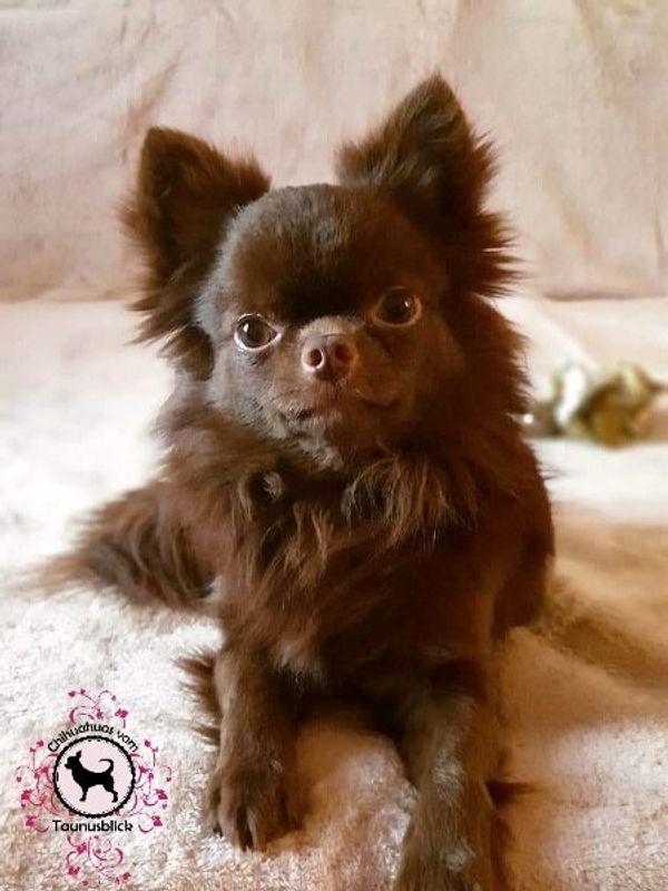 Chihuahua Rüde mit FCI Ahnentafel