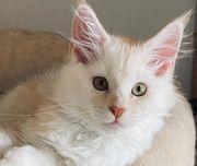 Zauberhaftes Maine coon kitten red