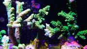 Korallenableger Nachzucht WYSIWYG 5-10EUR Korallen