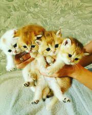 Süsse bkh scotish fould kitten