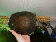 Wasserschildkröte cyclemys dentata Weibchen