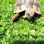 schildkröte breitrand