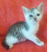 Katzenbaby Kitten bald abzugeben