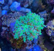 Euphyllia Divisa Meerwasser Salzwasser Aquarium