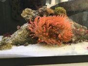 Korallen und Anemonen Krebse und
