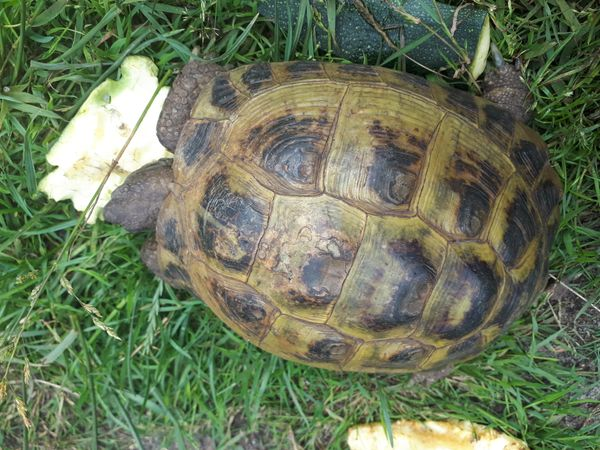 Weibliche Stepplandschildkröte zu verkaufen