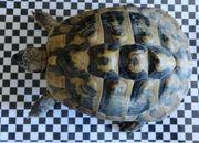 Griechische Landschildkröten t h b -