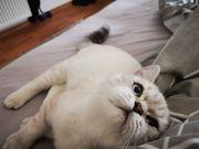 BKH -kitten Kater in Silver