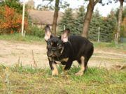 Exklusive Französische Bulldogge Welpen black