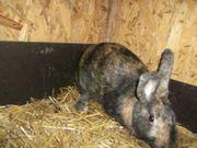 Kaninchen Rheinische Scheckenmix Häsin zu