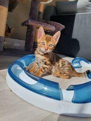 Bengal Kitten ohne Papiere
