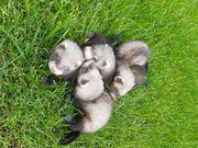Junge Frettchen suchen ein Zuhause