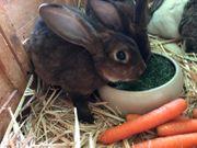 Kaninchen castor Rex Weibchen