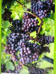 Weintrauben Früchte Bio