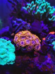 Zoanthus Krustenanemonen Korallen