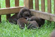 wunderschöne reinrassige schokobraune Labradorwelpen abzugeben