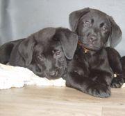 Reinrassige Labrador Retriever Welpen