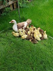 Junge Enten Warzenenten Flugenten Küken