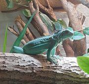 Iguana iguana blauer Leguan